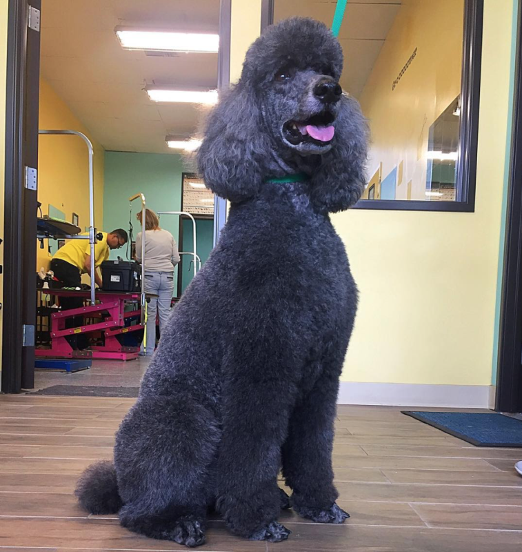 Advanced Dog Groomer Course West Coast Grooming Academy