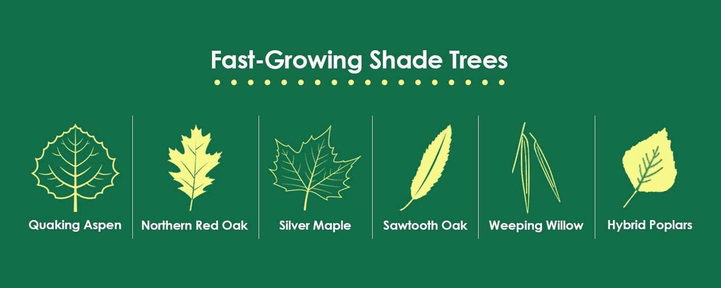 Fast Growing Shade Trees
