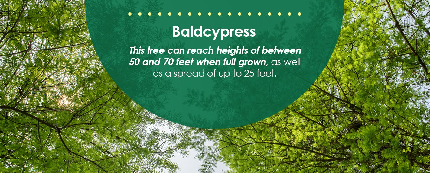Baldcypress Trees for Shade