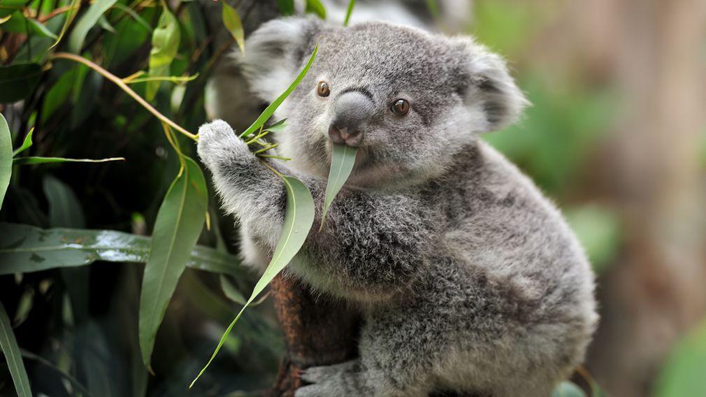 Koala post.jpg