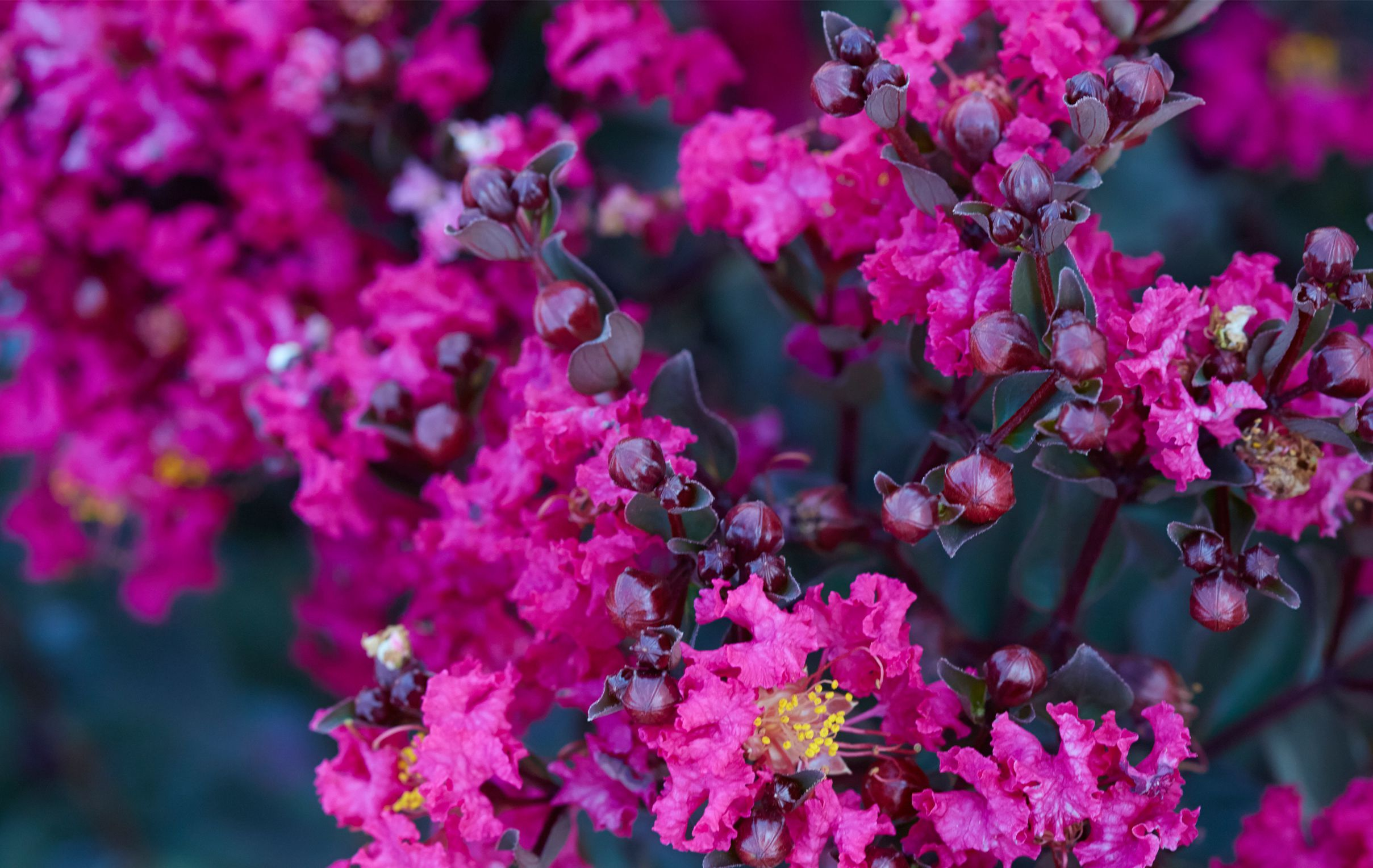 Mystic magenta black diamond blooms attributes colorful nvjuhfo Choice Image