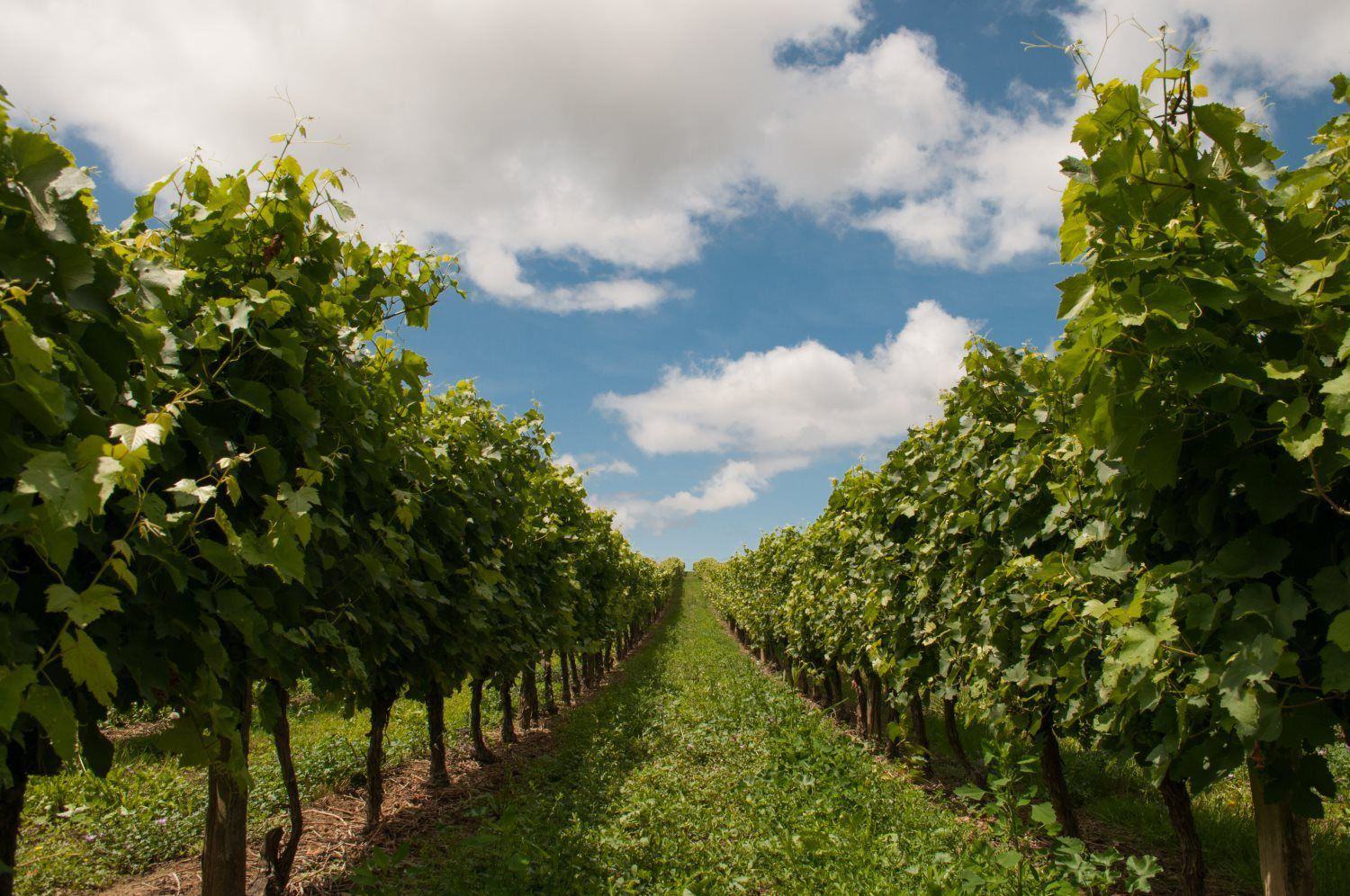 WINE cultivation