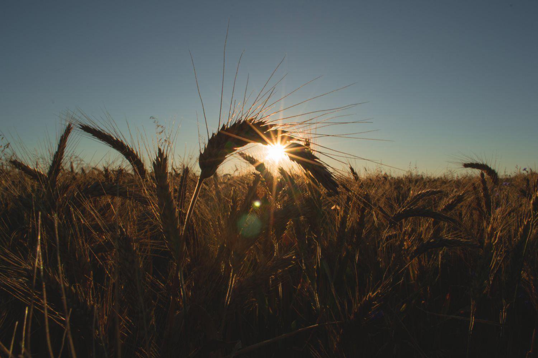 field, sunrise