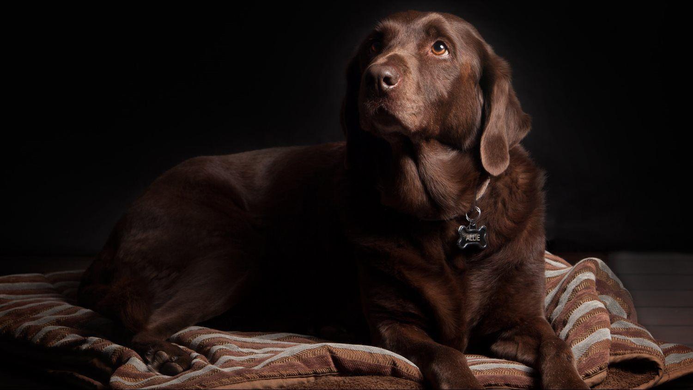 large brown dog