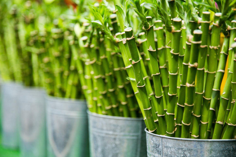 chinese bamboo plant